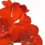 Jak vyzrát na závlahu a výživu balkonových rostlin – 3. část