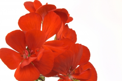 Jak vyzrát na závlahu a výživu balkonových rostlin – 1. část
