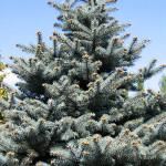 Vánoční stromek řezaný …