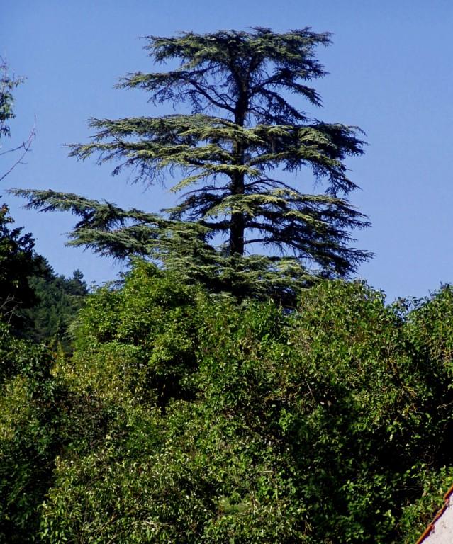 Cedr libanonský