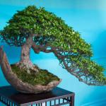 Jak pěstovat bonsaj