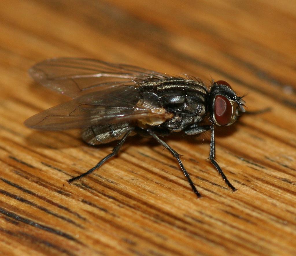Mouchy – dotěrný hmyz