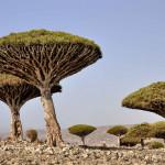 Zajímavé stromy světa – Stromy dračí krve