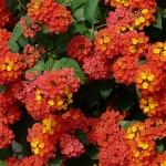 Pěstování a údržba okrasných rostlin 2 – přenosné letničky