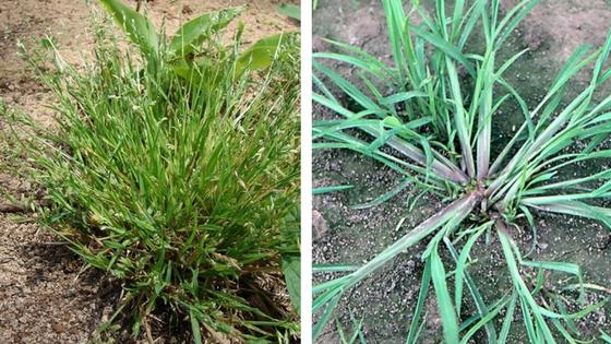Ježatka a lipnice roční – nebezpečné trávy v trávníku