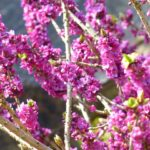 Lýkovec obecný – krásný květem, ale silně jedovatý