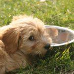Mějte pitný režim svého psa pod kontrolou, zvláště vlétě