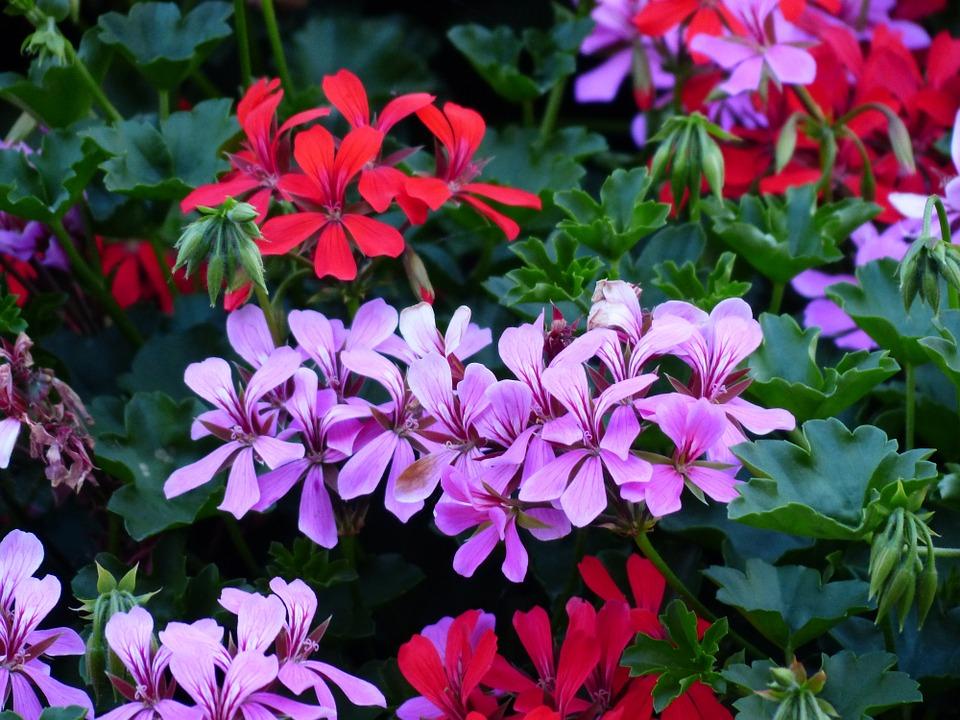 Jak úspěšně pěstovat balkonové rostliny