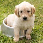 Kdy přejít ze štěněcích granulí na granule pro dospělé psy