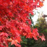 Dřeviny s atraktivní barvou listů 1. část – sčerveným listem