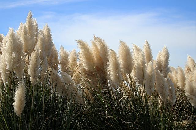 Kortaderie dvoudomá - papmpová tráva