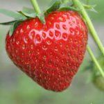 Čtyři tipy pro výživu jahodníku