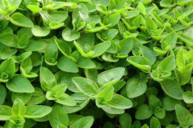 Majoránka zahradní – její pěstování a léčivé účinky